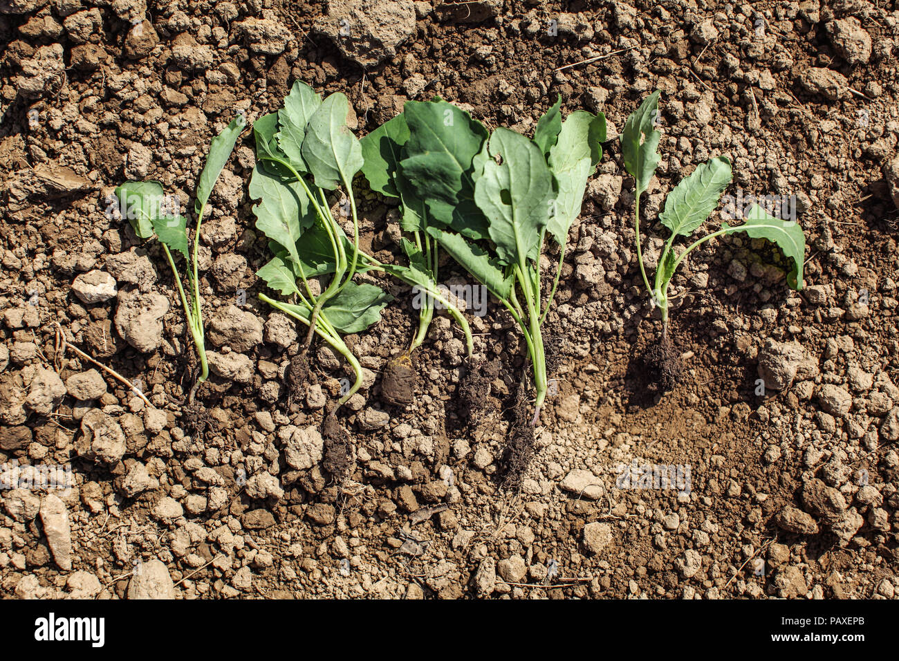 Young kohlrabi nurseling plants - ready to be planted into ground. Spring gardening. - Stock Image