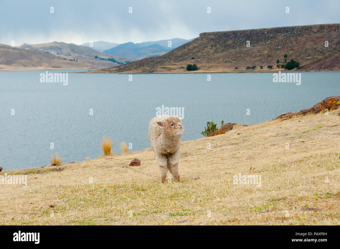Alpaca in Peru - Stock Image