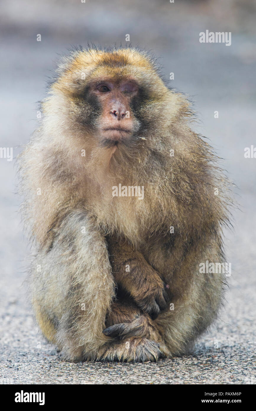 Barbary Macaque (Macaca sylvanus), adult with a blind eye sitting on the ground - Stock Image