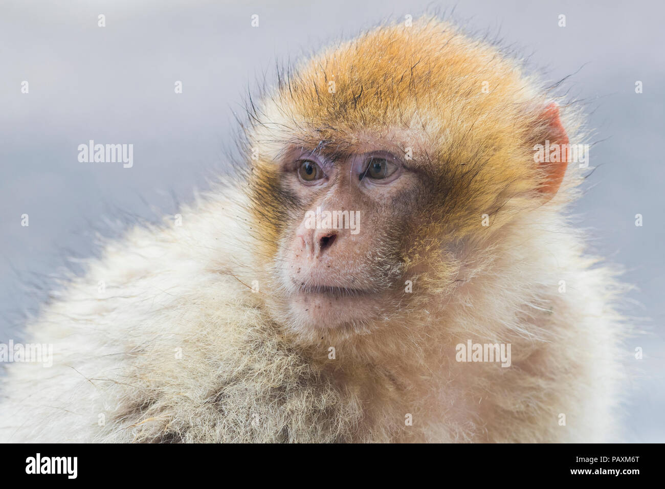 Barbary Macaque (Macaca sylvanus), juvenile close-up - Stock Image