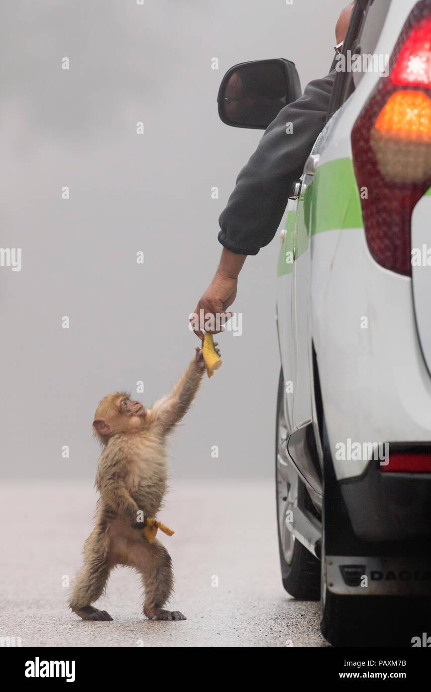 Barbary Macaque (Macaca sylvanus), cub taking food from a human Stock Photo