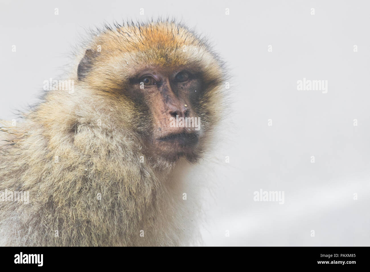 Barbary Macaque (Macaca sylvanus), portrait of individual in the fog - Stock Image