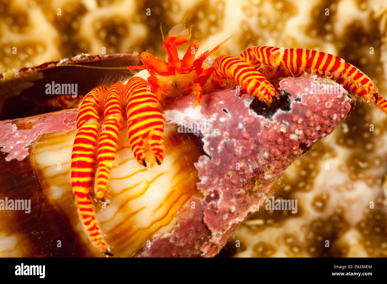 The cone shell hermit crab, Ciliopagurus strigatus, specialized flat body allows it to squeeze into the narrow opening of a cone shell, Yap, Micronesi - Stock Image