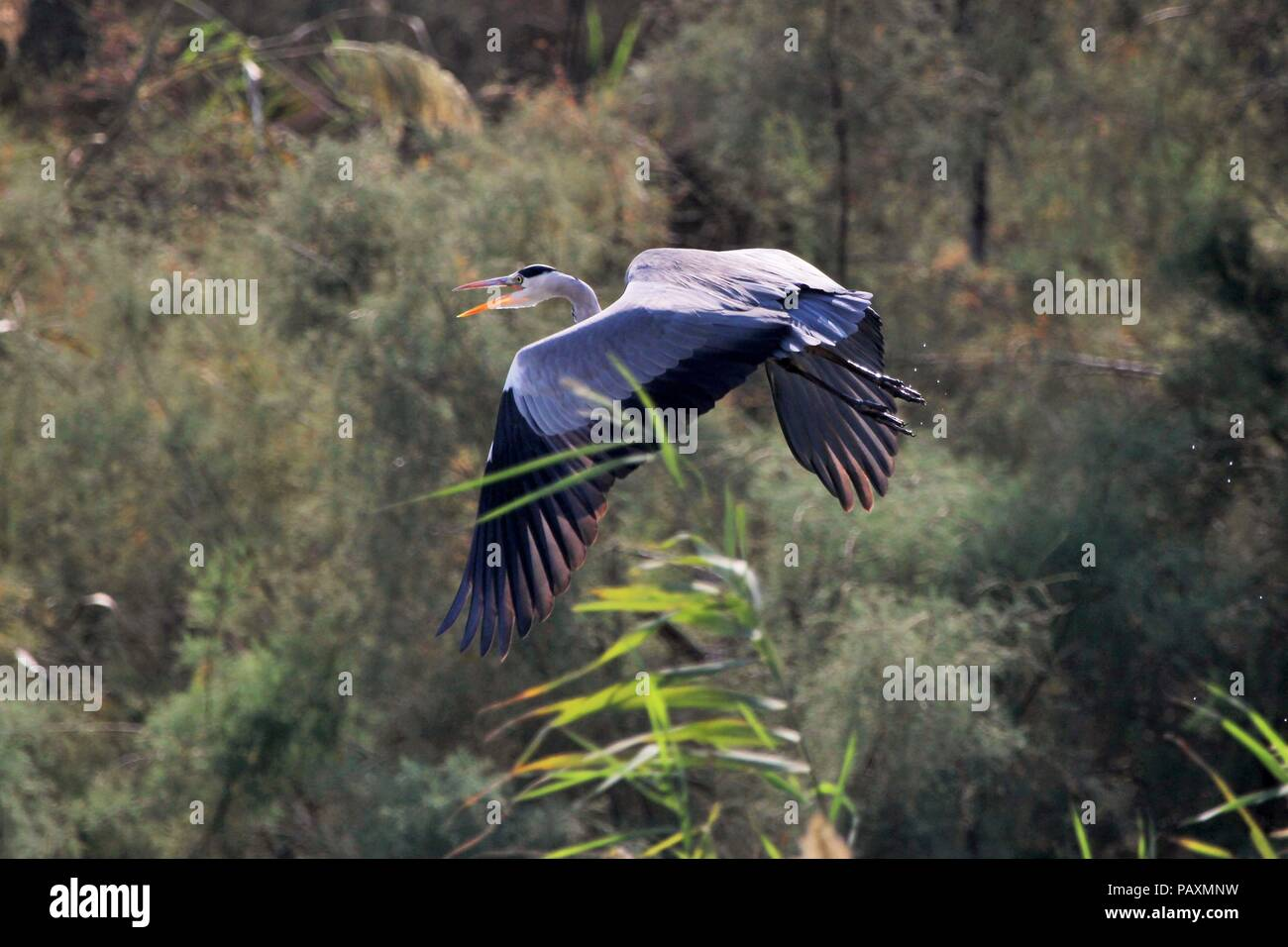A gray heron flew through the trees - Stock Image