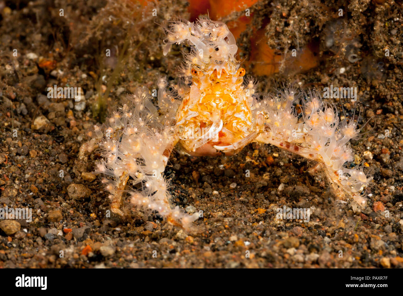 This decorator crab, Cyclocoeloma tuberculata, has covered itself with living hydroids to make it less inviting to predators, Rinca Island, Komodo, In - Stock Image
