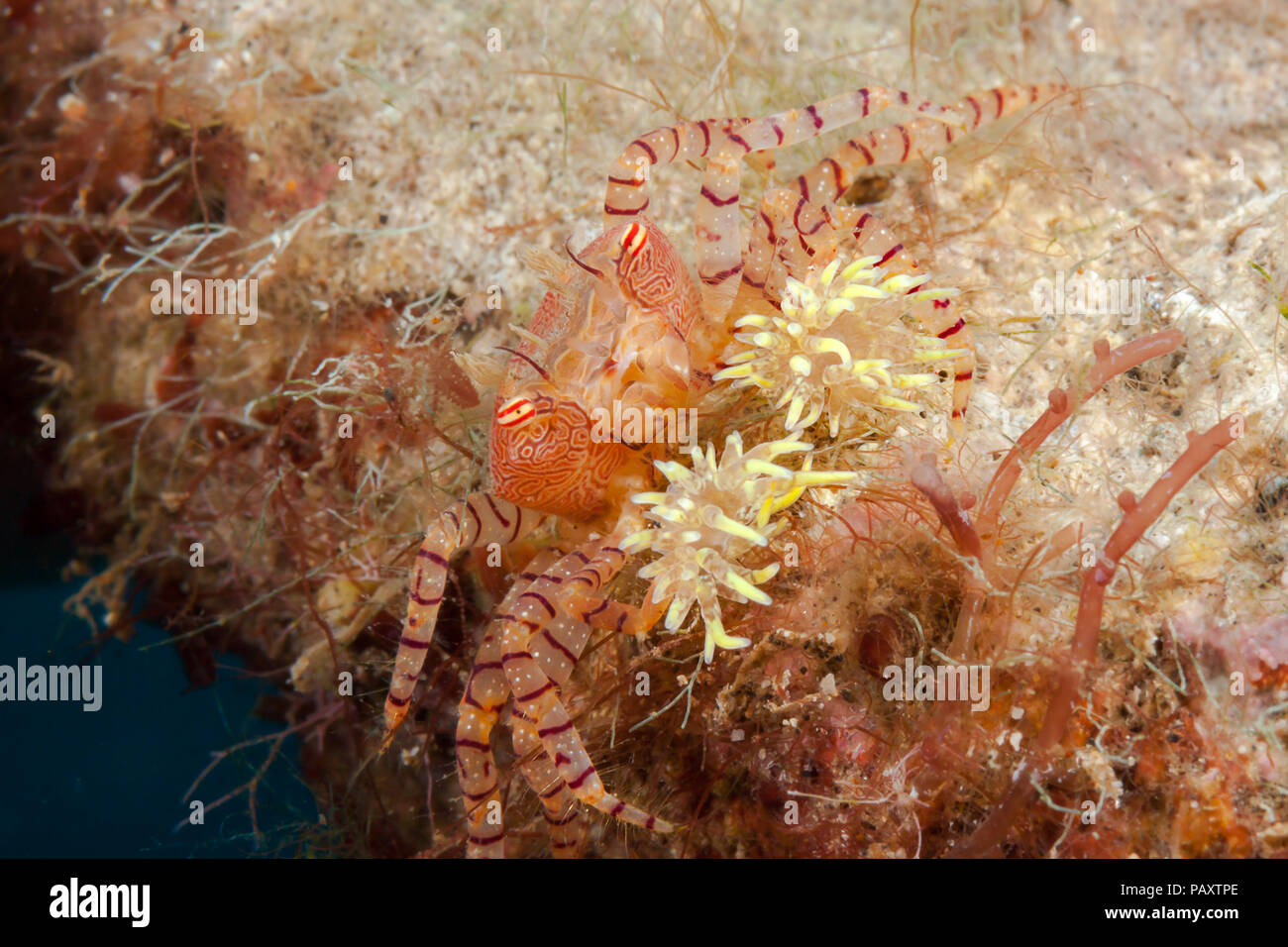 The endemic Hawaiian pom-pom crab or boxer crab, Lybia edmondsoni, is associated with anemones, Triactis sp, that it carries around holding with the c - Stock Image