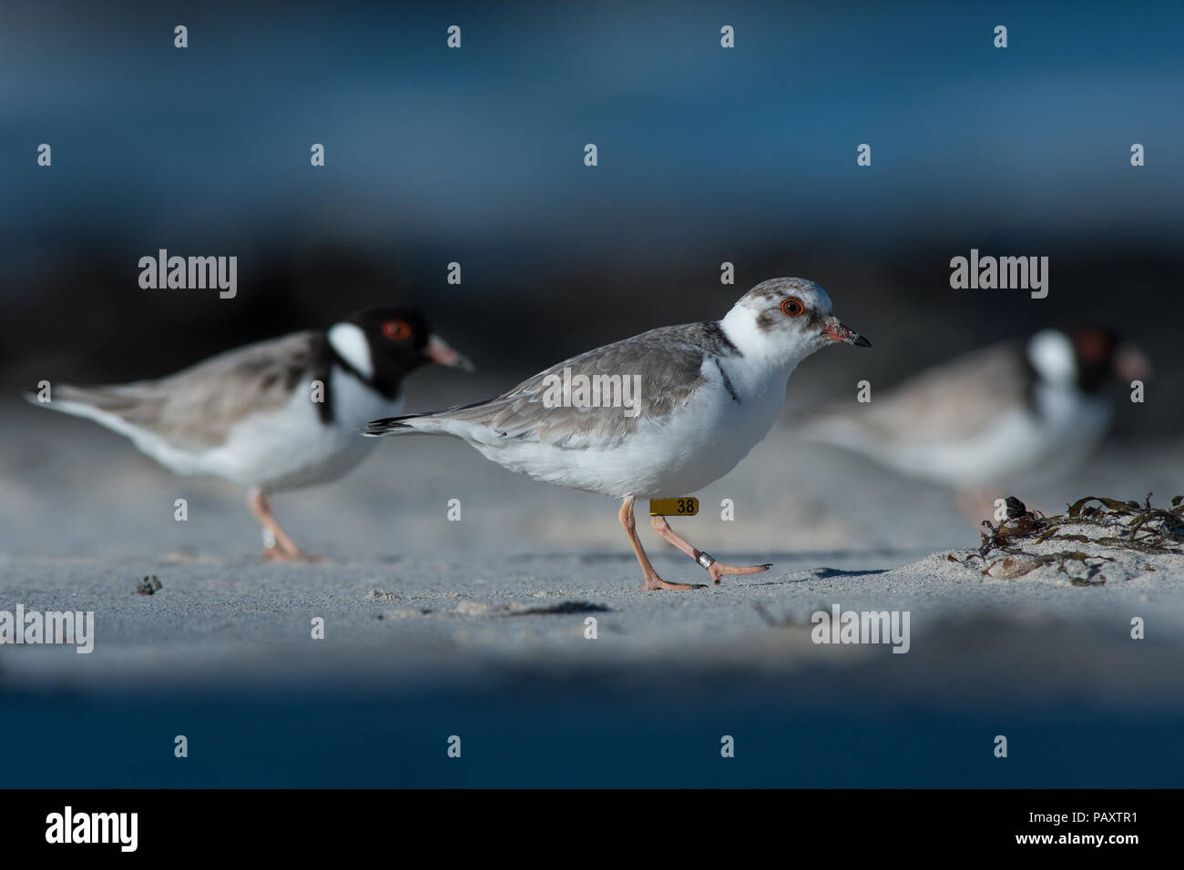 A juvenile Hooded Plover with parents nearby - Stock Image