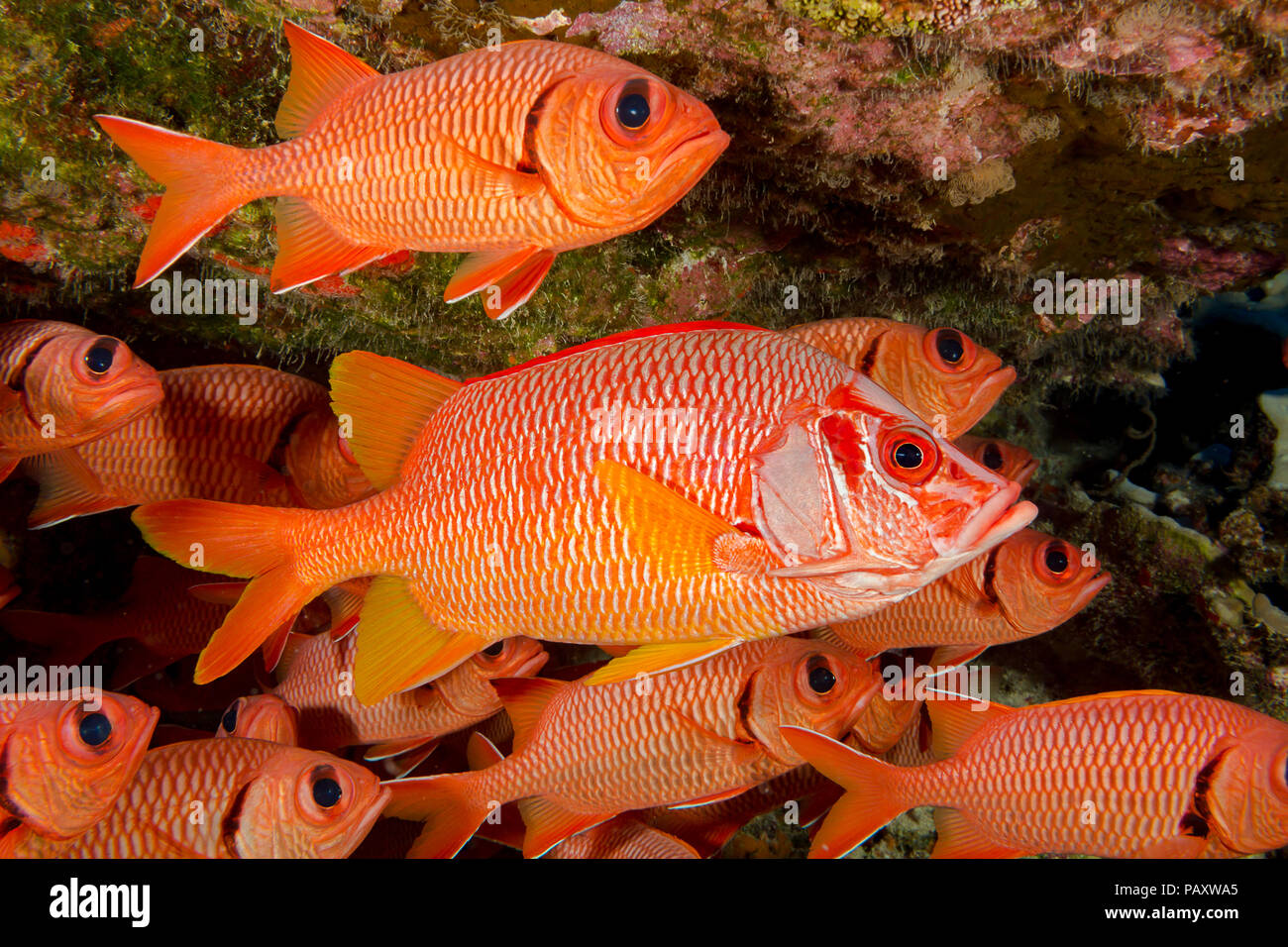 This longjaw squirrelfish, Sargocentron spiniferum, is the largest species of this family and appears quite at home in this school of bigscale soldier - Stock Image