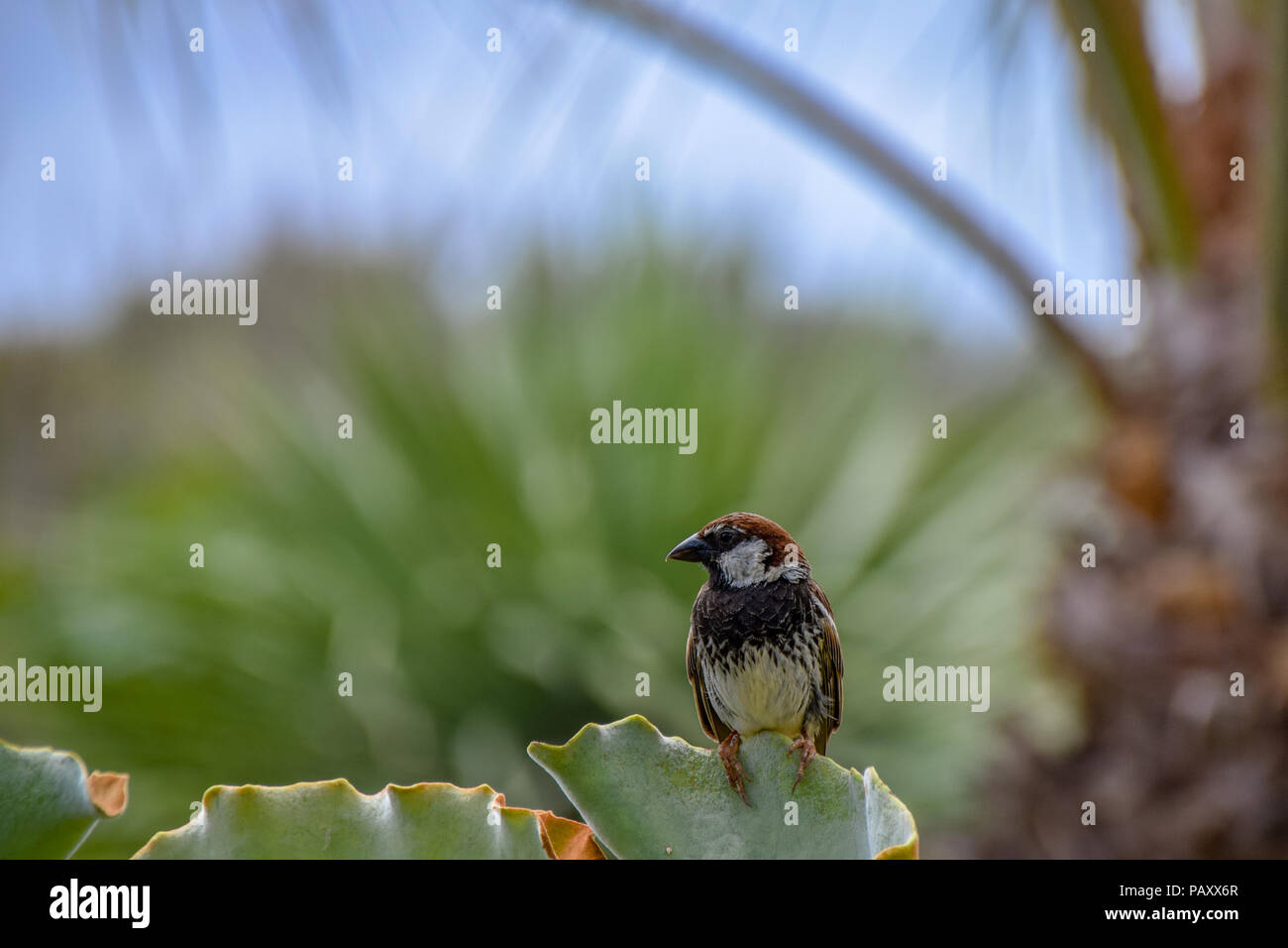 Male spanish sparrow (Passer hispaniolensis) perched on the leaf of a green succulent in Porto Santo, Portugal - Stock Image