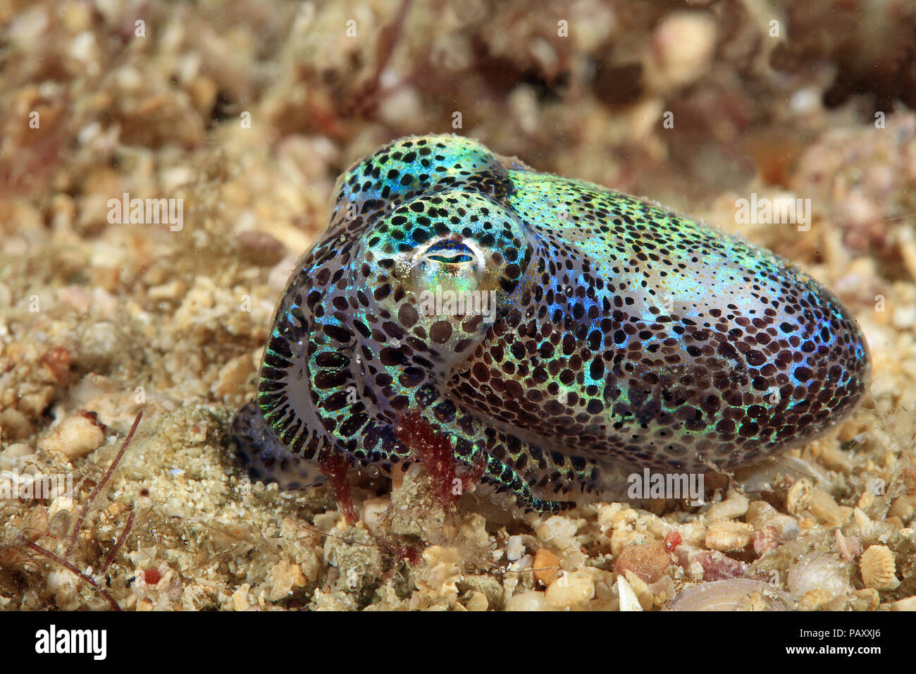 Berry's bobtail squid or Hummingbird bobtail squid (Euprymna berryi), Sabang Beach, Mindoro, Philippines - Stock Image