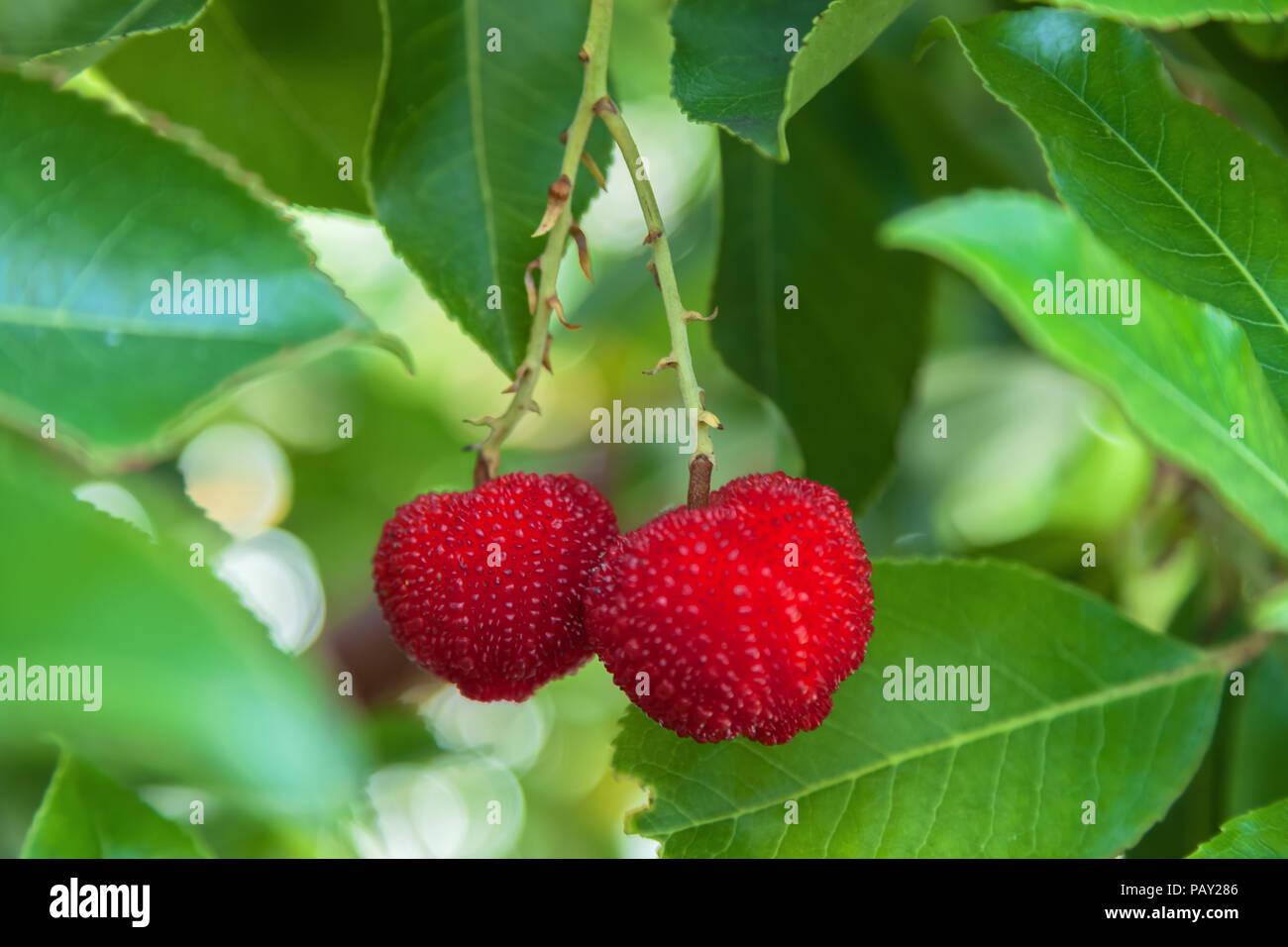 Ripe strawberry tree fruit, San Francisco, California, United States. - Stock Image