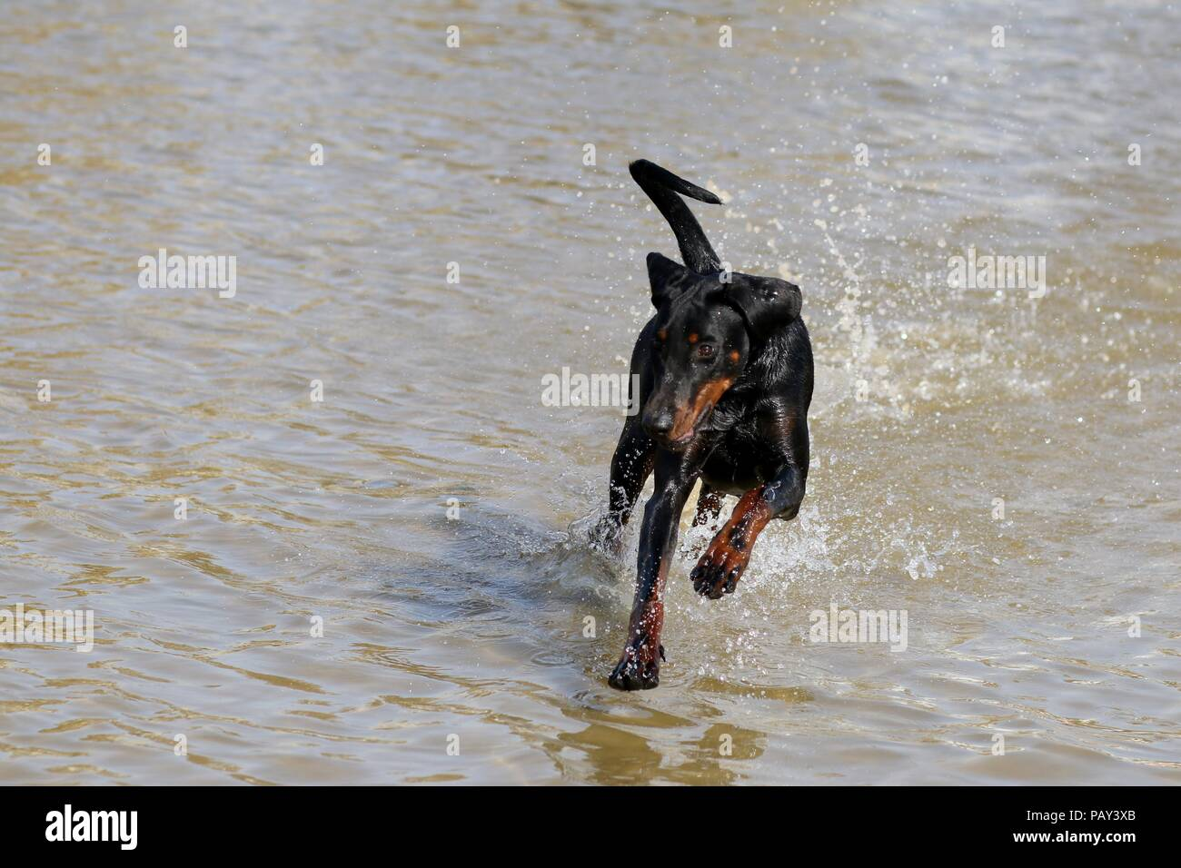 a dog running in the sea on a hot summer day - Stock Image