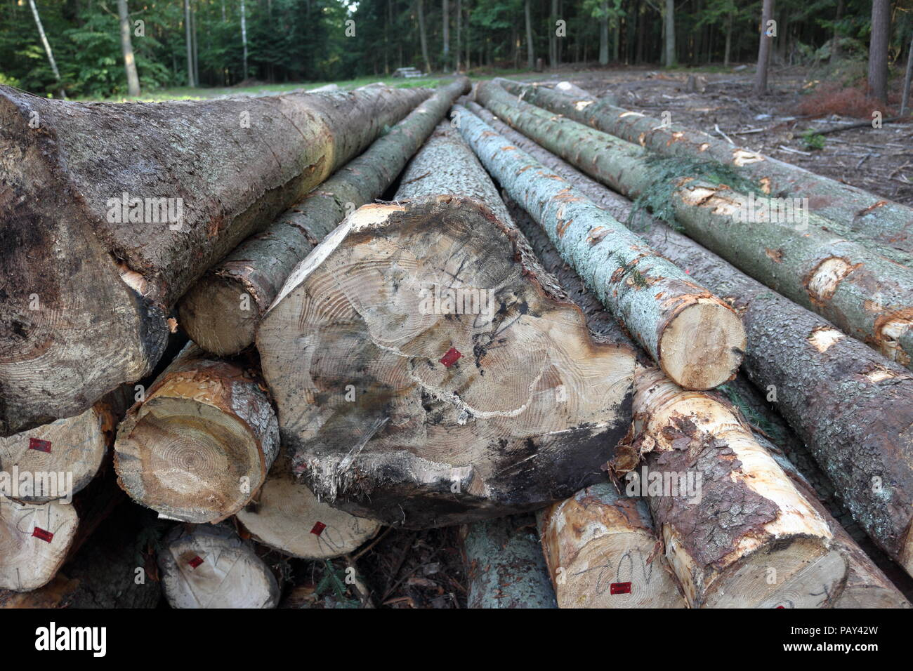 Big tree logs on the logging site in the middle of the forest Stock Photo