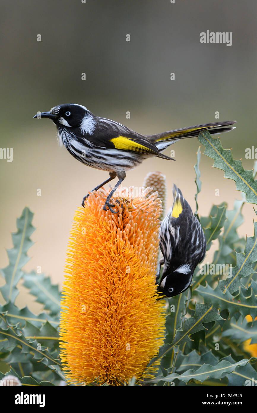 New Holland Honeyeaters nectar feeding on Banksia flower. - Stock Image