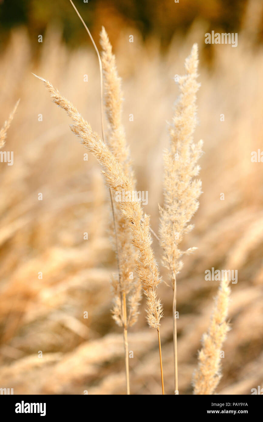 ornamental grass in the fall autumn background stock photo