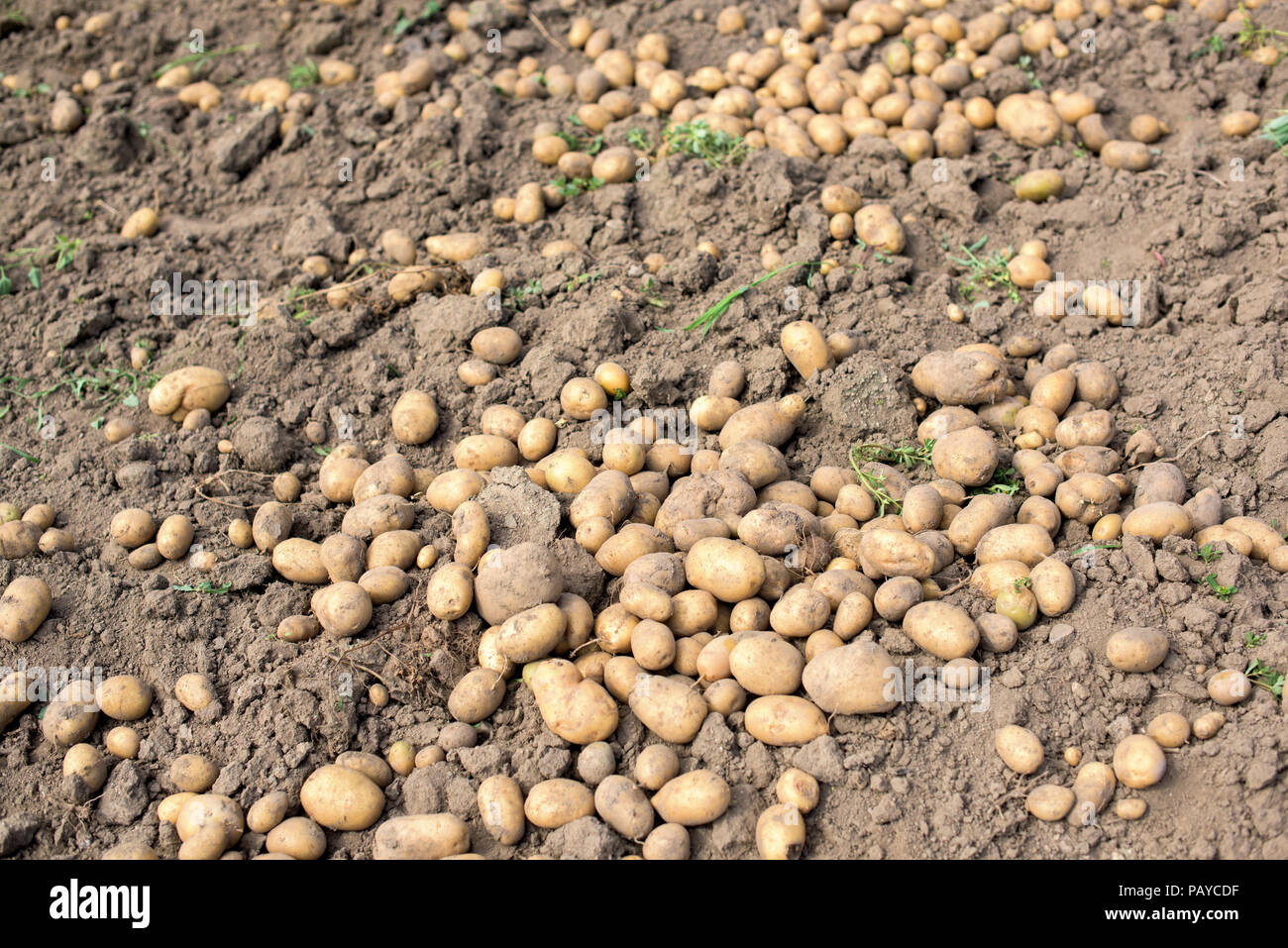 Ripe potatoes out of soil - harvest in a vegetable garden Stock ...