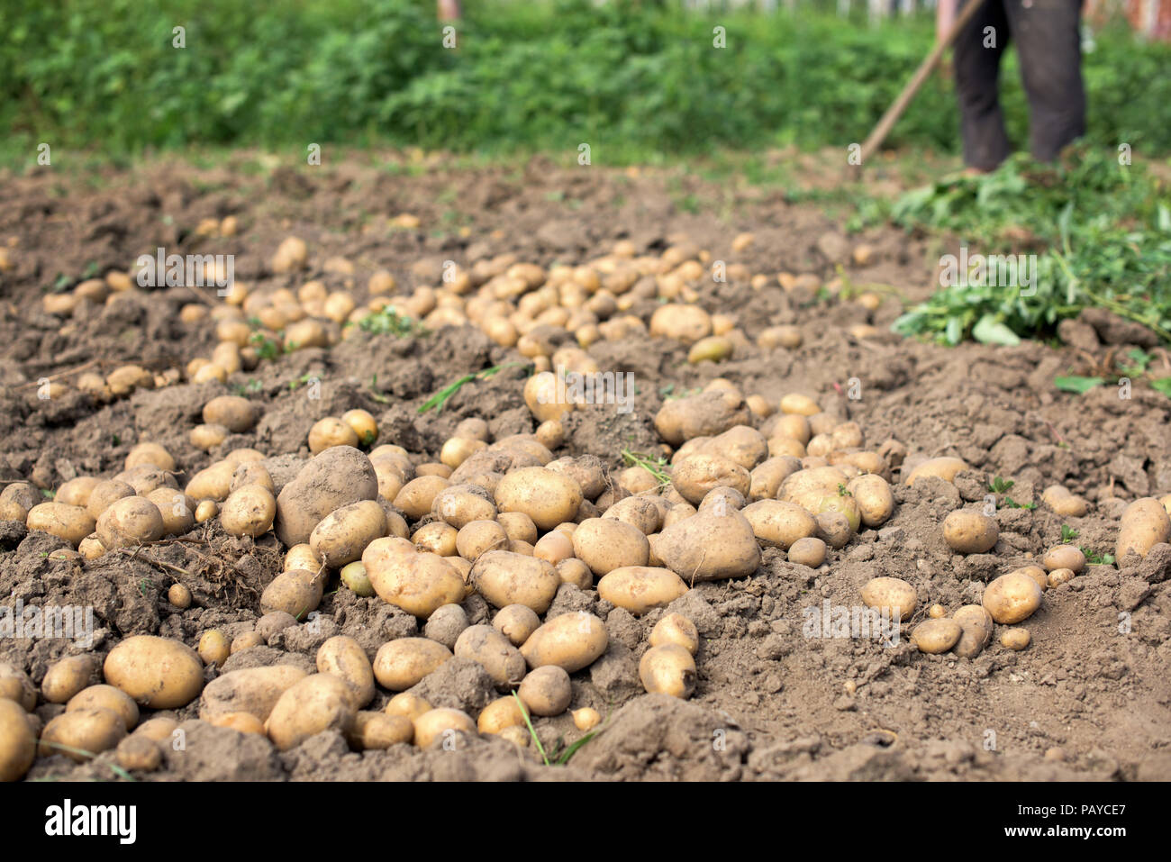 Worker digs in a potato vegetable garden Stock Photo: 213273487 - Alamy