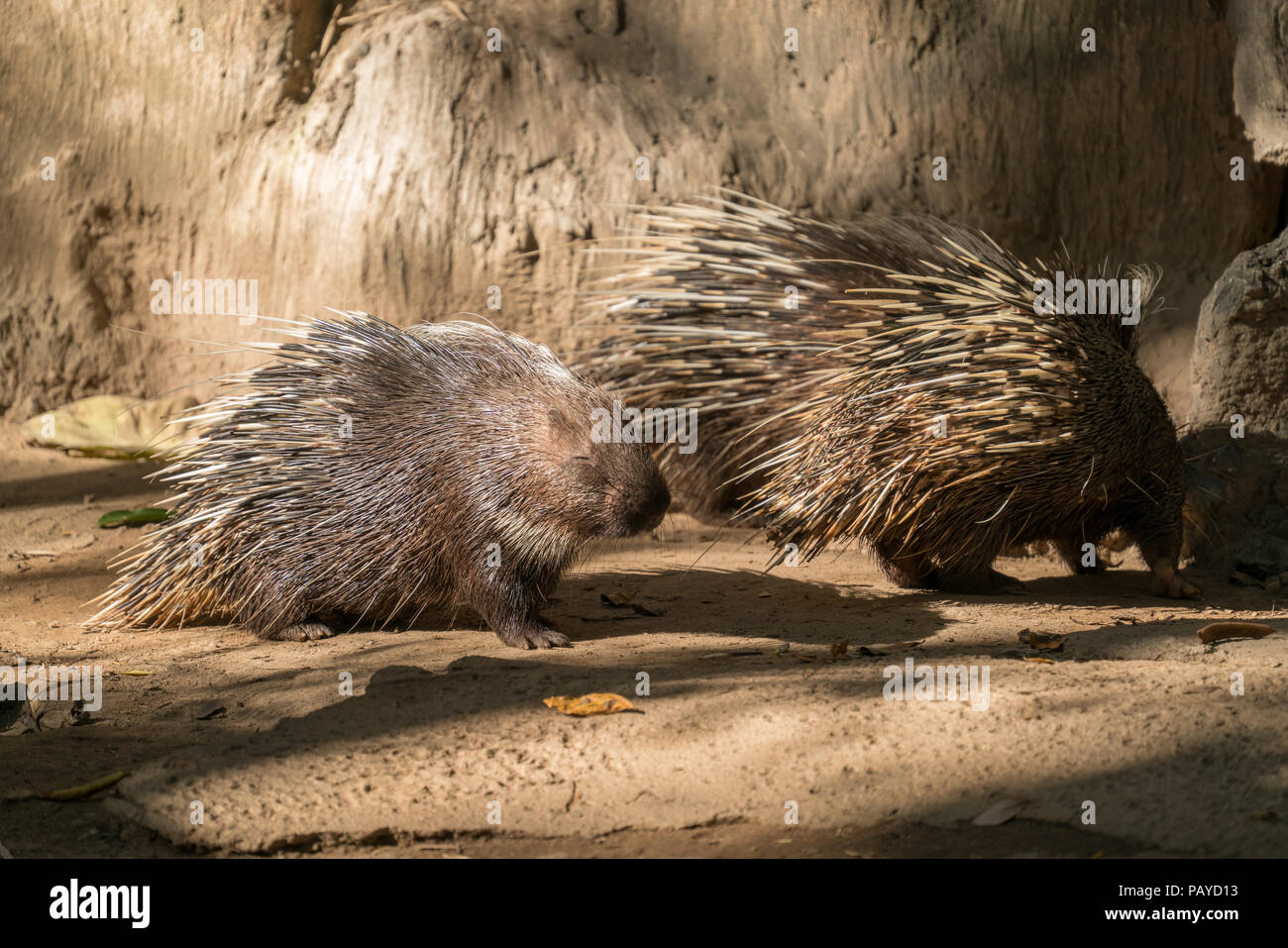 malayan porcupine, himalayan porcupine or large porcupine Stock Photo