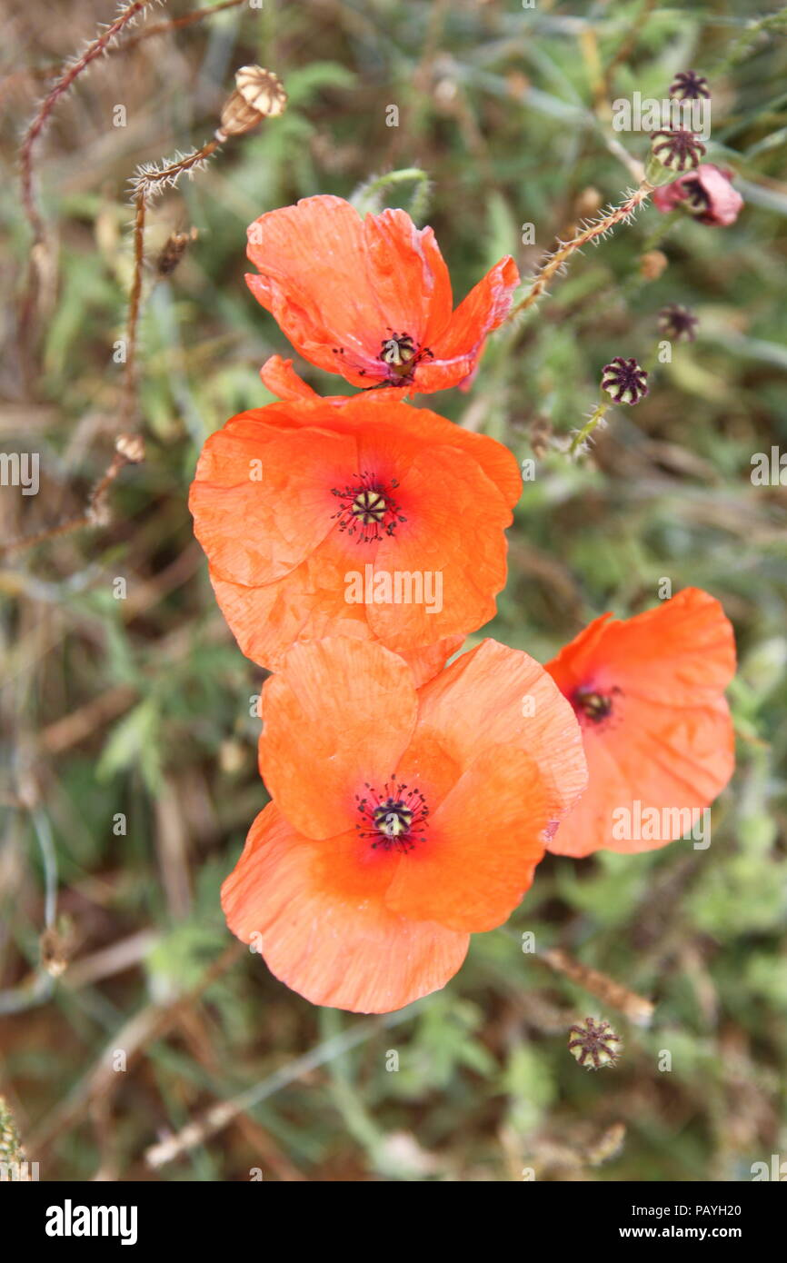 Flowers poppies poppy seeds herbaceous plant symbolism of sleep symbolism of sleep peace and death and used for commemoration on remembrance day picture depicts orange colour oriental poppy flower mightylinksfo