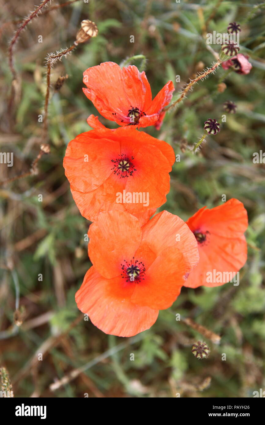 Flowers Poppies Poppy Seeds Herbaceous Plant Symbolism Of Sleep