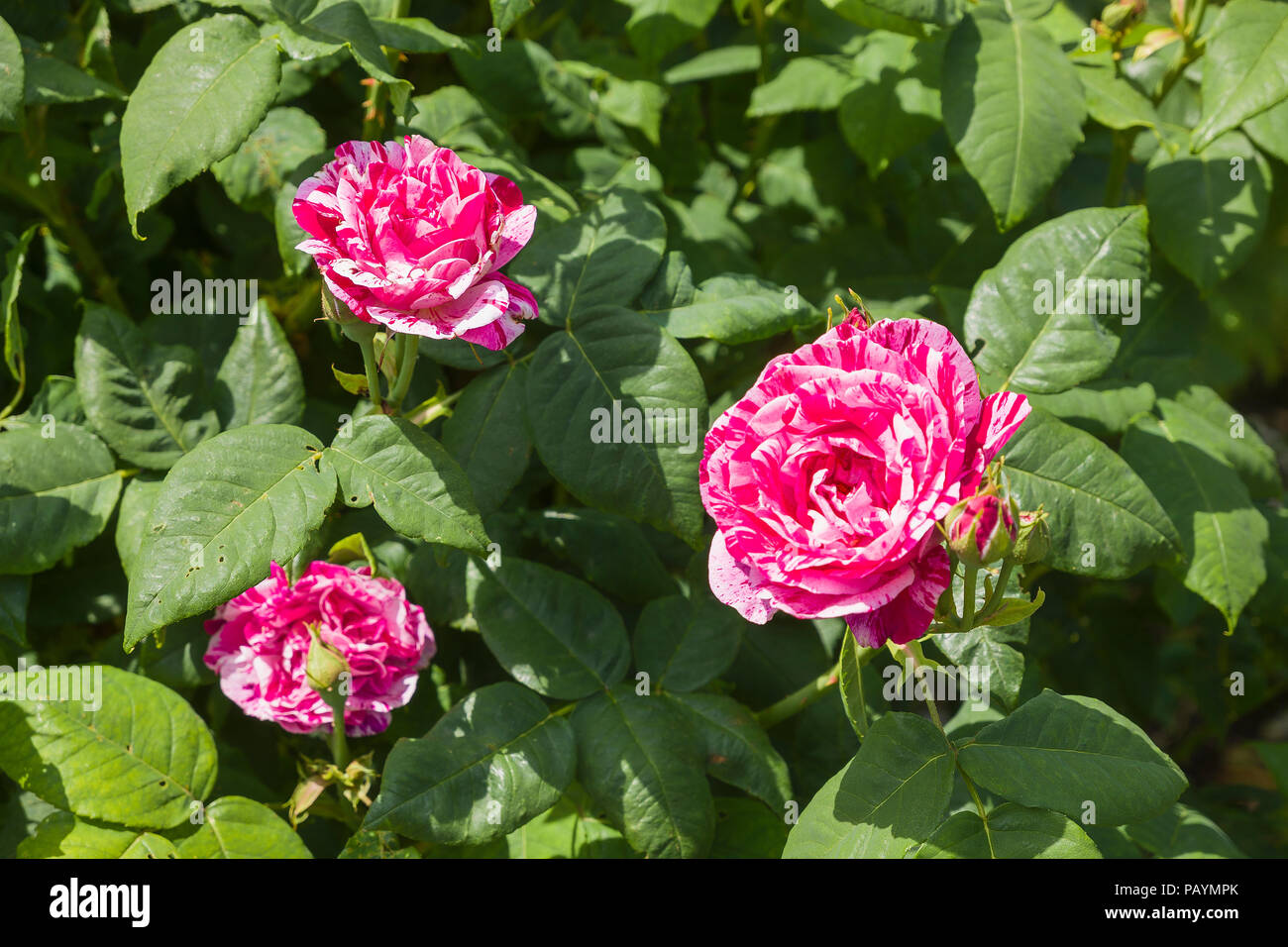 Rose Ferdinand Pichard with striking two-tone coloration flowering in June in UK - Stock Image