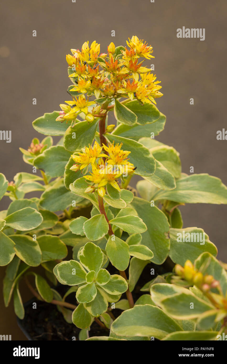 Sedum kamtschaticum Variegatum in flower in June as bought from an English garden centre - Stock Image