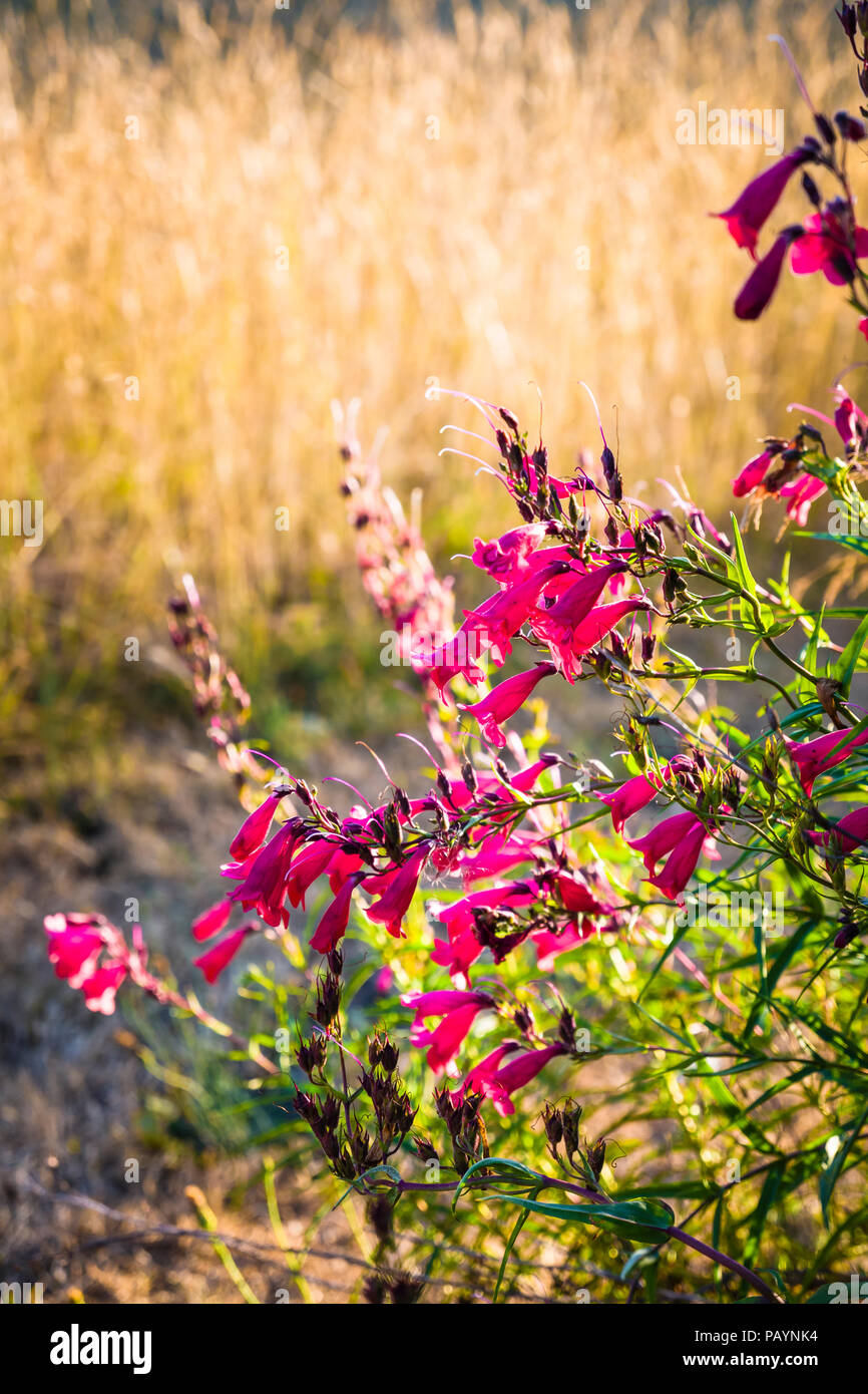 Penstemon Hidcote Pink in an English lawn survives a prolonged heat wave better than lawn grass which dies on the surface in July - Stock Image