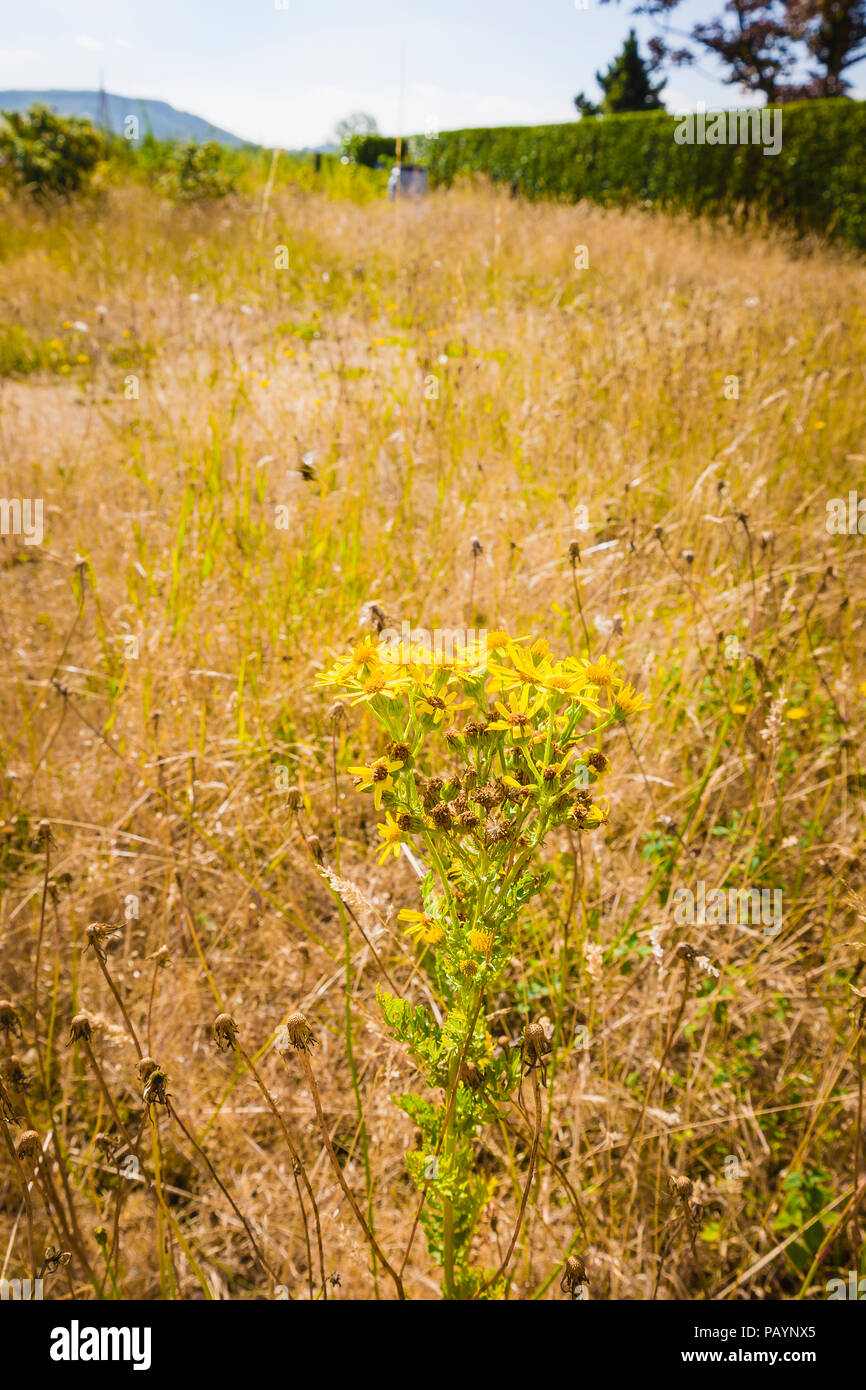 Perennial weeds (Ragwort) in an English lawn survive a prolonged heat wave better than lawn grass which dies on the surface in July - Stock Image