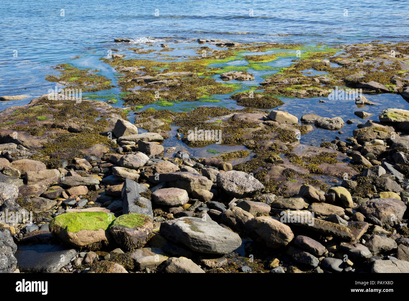 Green and brown seaweed exposed at low tide Seahouse Northunberland UK - Stock Image