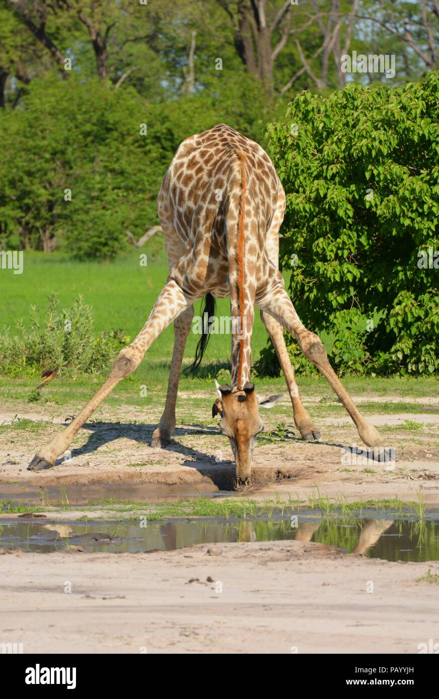 Giraffe beding down to drink water in the african bush - Stock Image