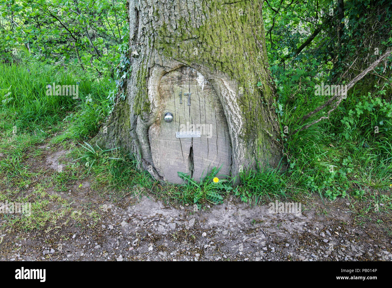 A pretend door with knob, number and letterbox placed where the bark of the Oak tree is missing.  It's can be seen on the towpath of the Brecon Canal. - Stock Image