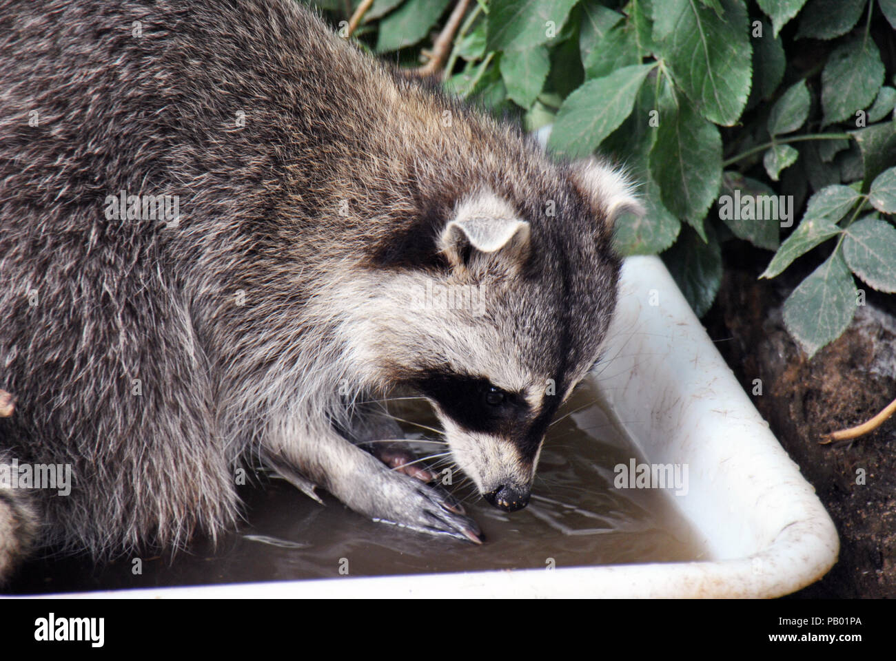 Furry Raccoon Washing Its Food In Water Before Eating Stock Photo