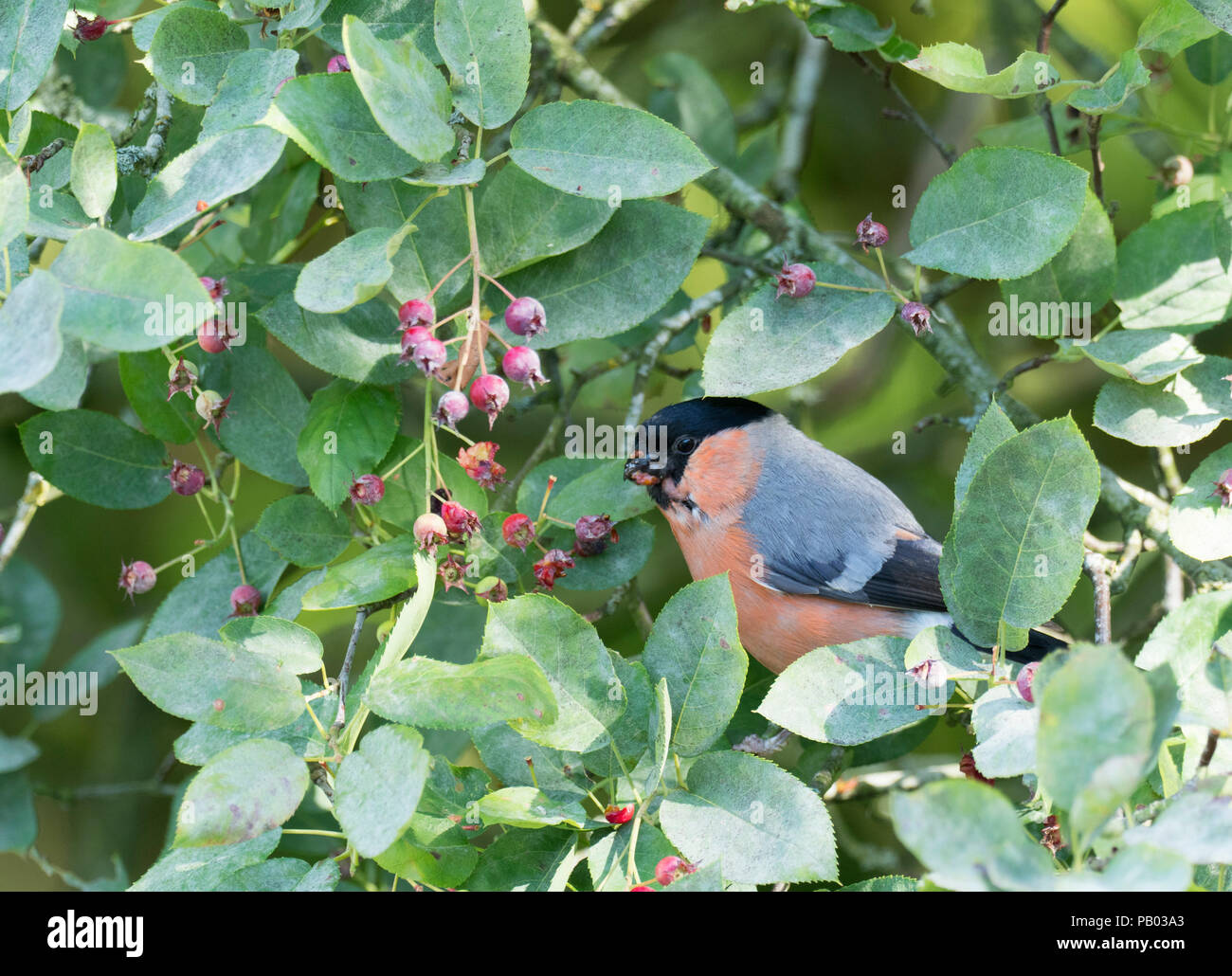 Bullfinch, Pyrrhula pyrrhula, single adult male feeding on fruits of Amelanchier canadensis. Worcestershire, UK. - Stock Image