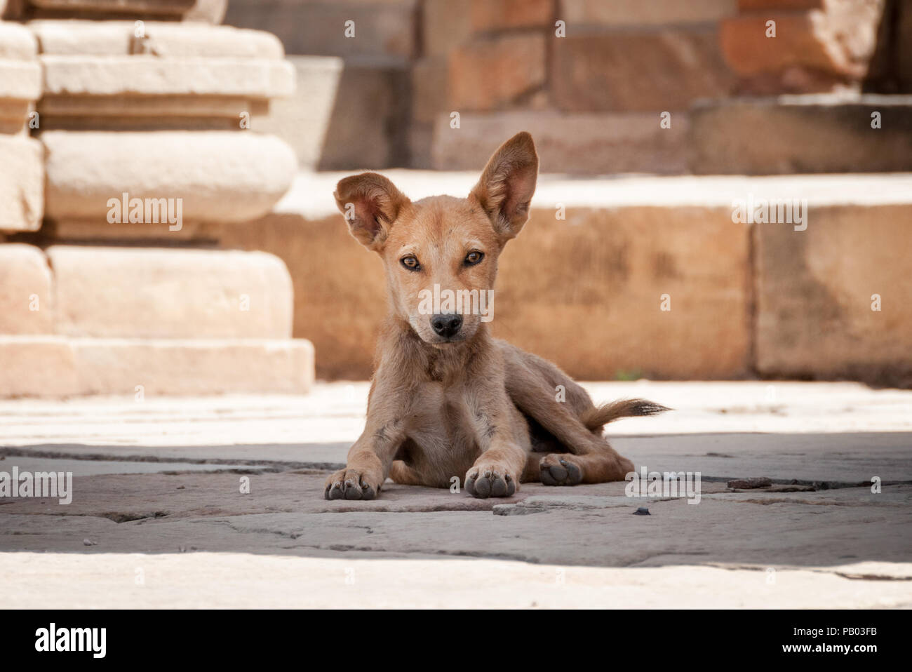 Indian stray dog with big ears laying in temple India Stock Photo
