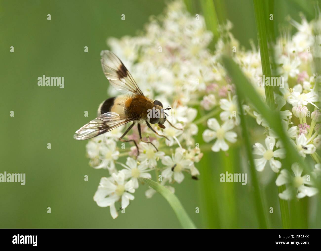 Hoverfly, Leucozona lucorum, single adult female feeding on , Worcestershire, UK. - Stock Image