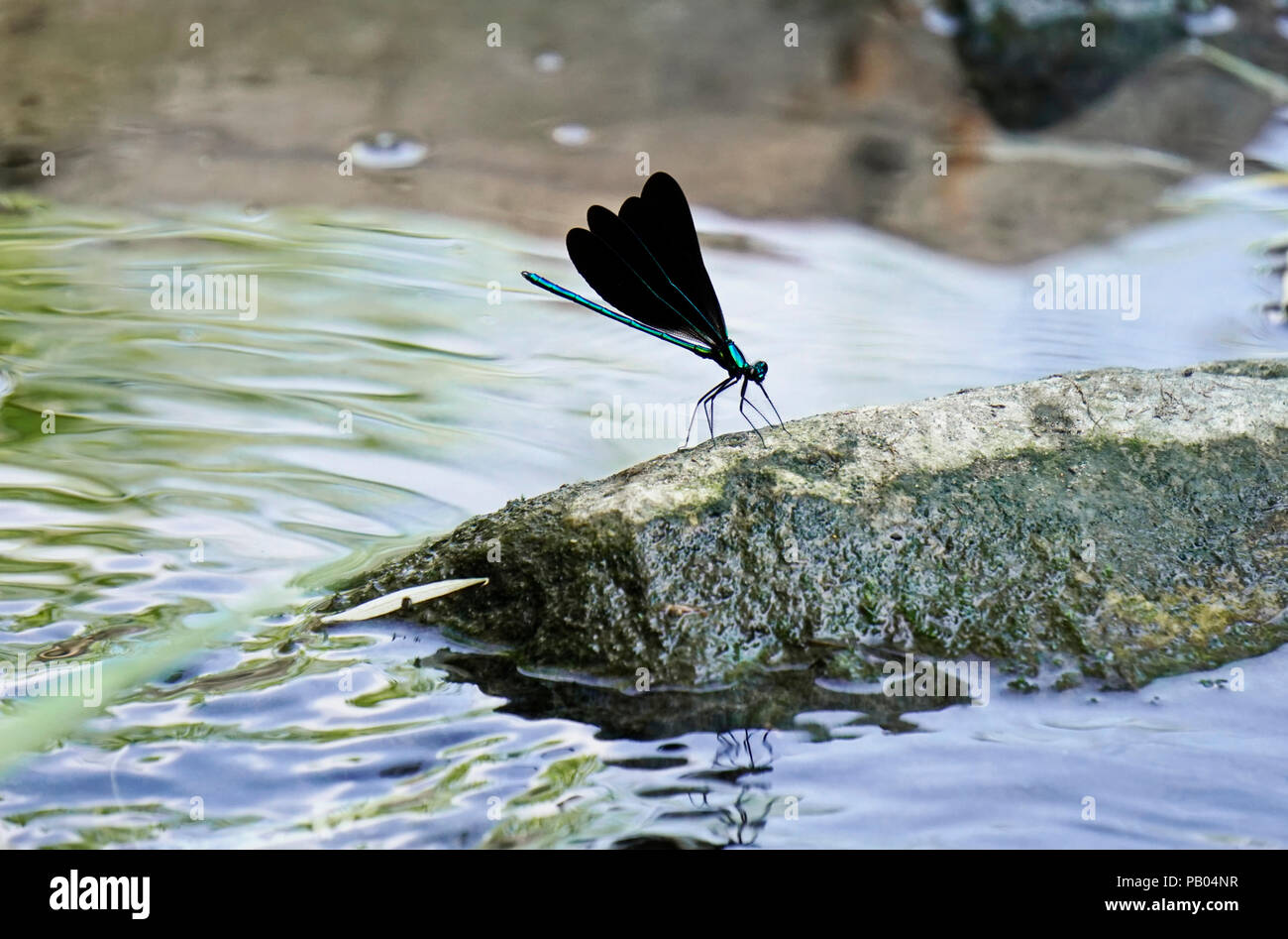 Ebony jewelwing flexing its beautiful iridious metalic green-blue colors on rock by stream in Toronto Botanical Gardens, Ontario, Canada Stock Photo