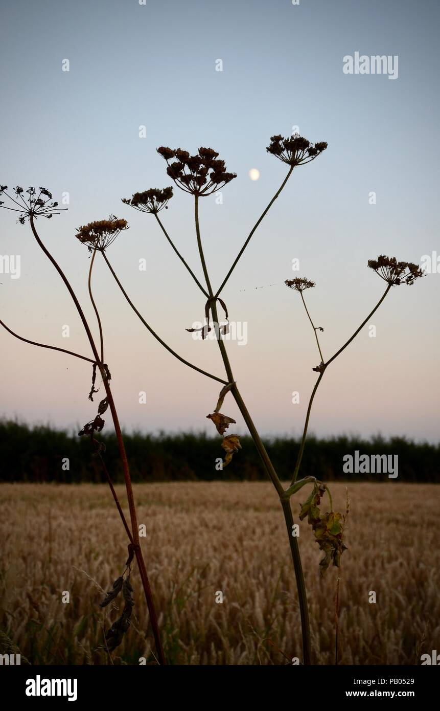 Moon rising and hogweed seedheads in silhouette, evening, Lincolnshire, England. - Stock Image