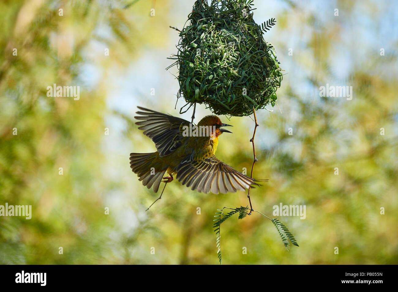 Cape Weaver bird in Camel Thorn tree - Stock Image