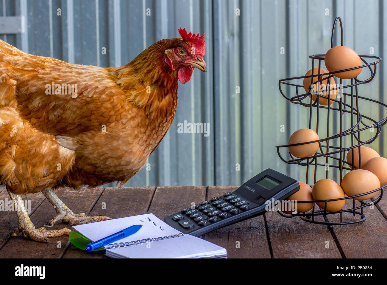 Real rescued battery farm hen free now and a free entrepreneur calculating egg production, accounts, tax, small business - Stock Image