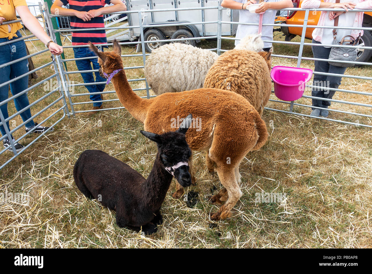 Four Alpacas in a Pen on Display at Nantwich Agricultural Show Cheshire England United Kingdom UK - Stock Image