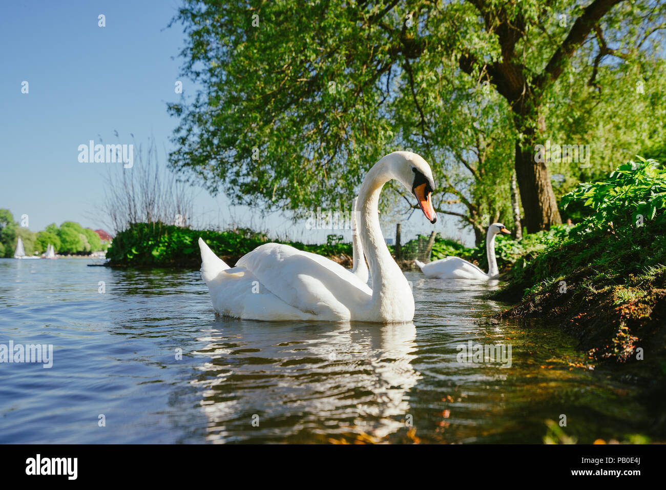 white grace swanon Alster lake on a sunny day in Hamburg Stock Photo