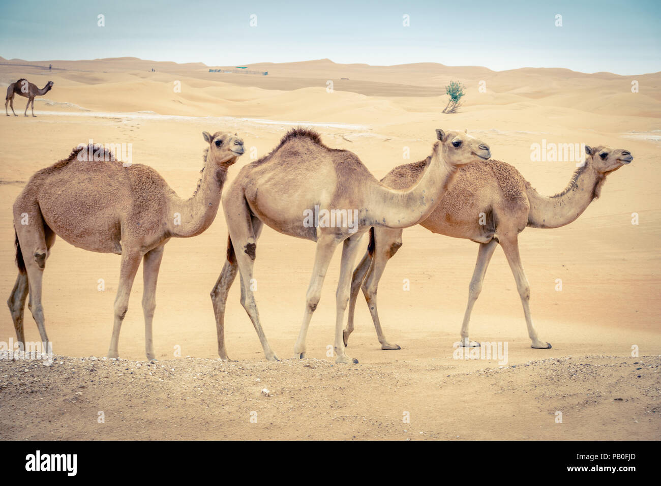 A herd of wild camels in the desert near Al Ain, UAE - Stock Image