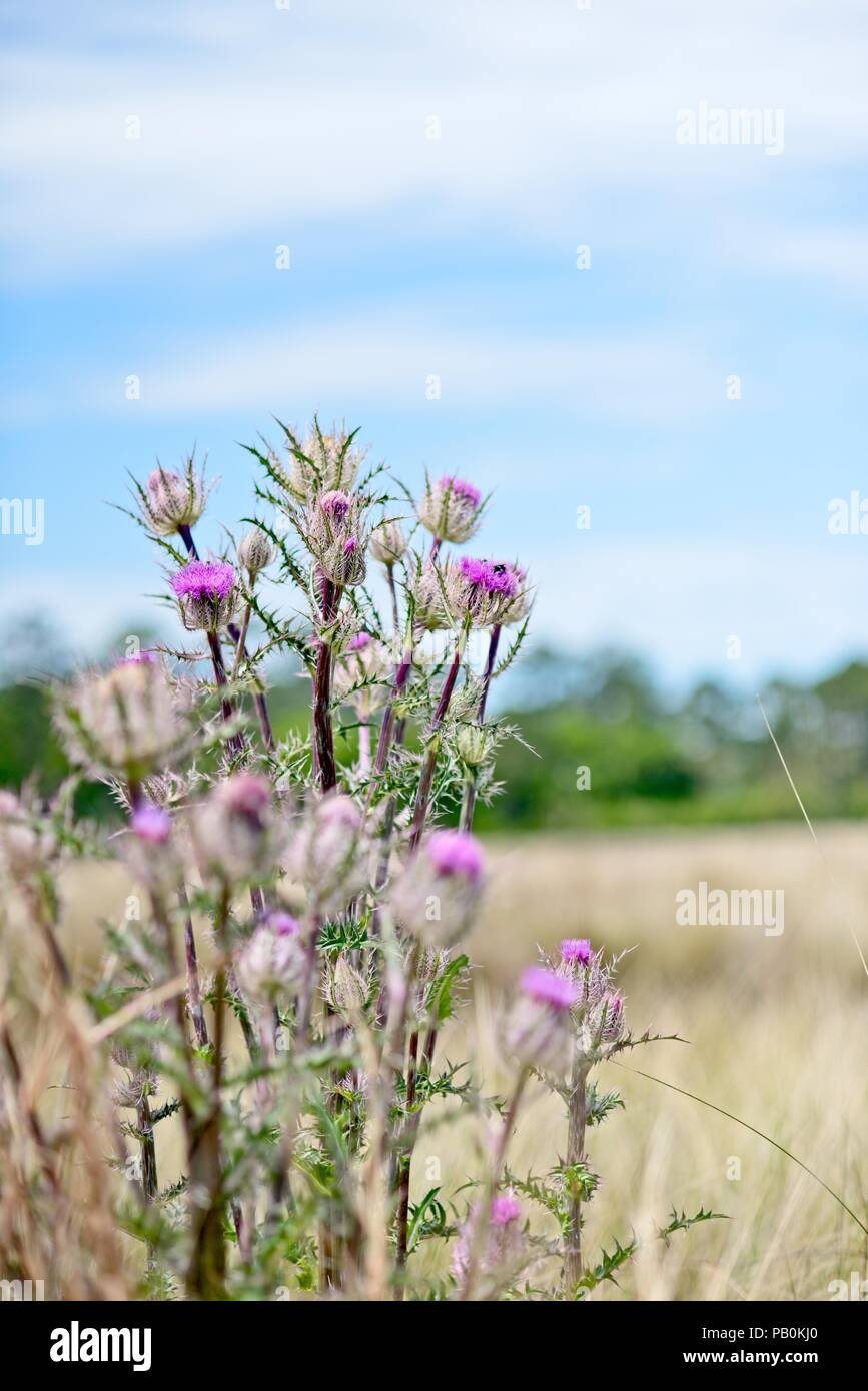 A clump of pink wildflowers are isolated among a background pastureland with trees on the horizon and blue sky and white clouds as a backdrop - Stock Image