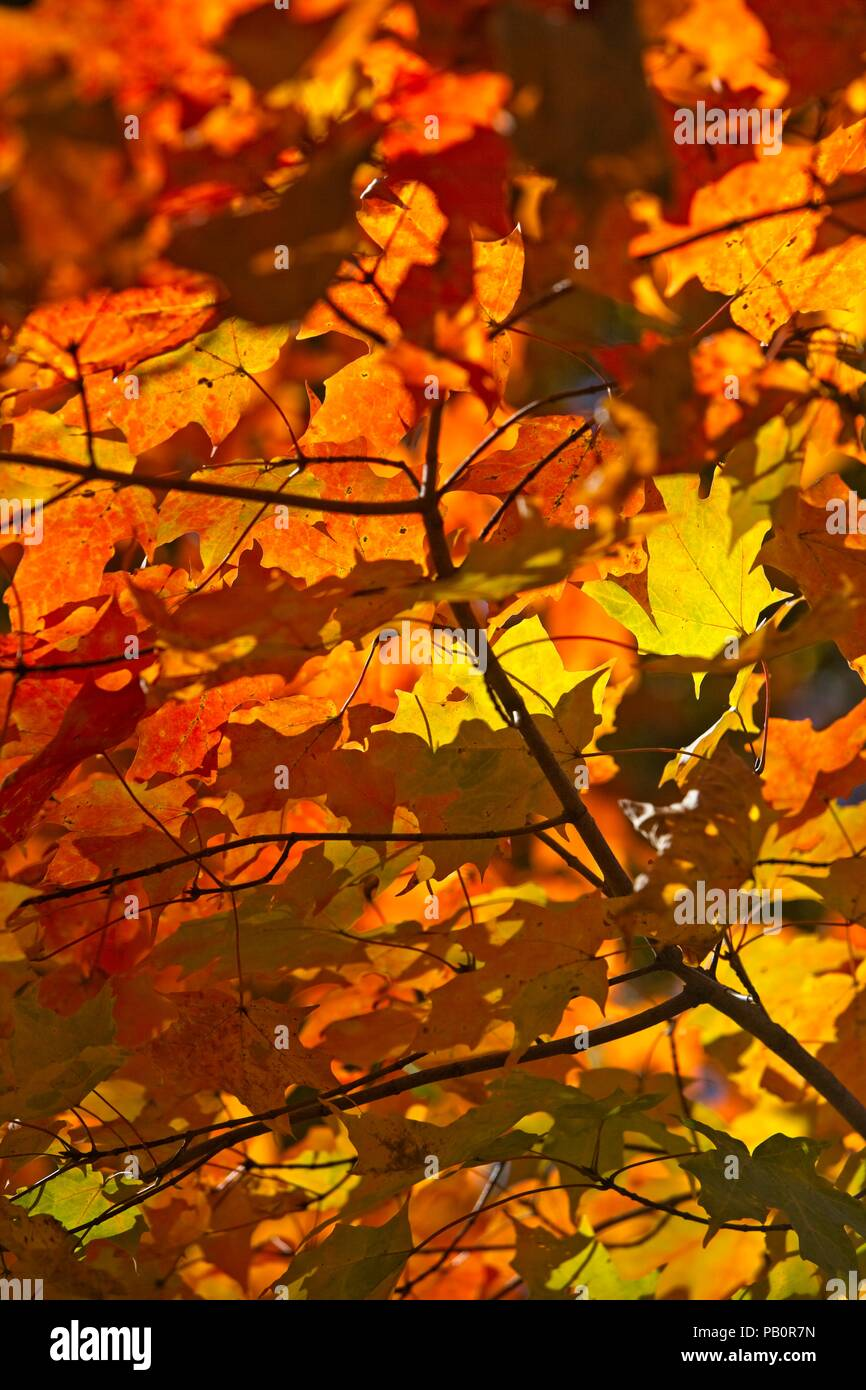 Vibrant maple leaves in the Vermont forist in October - Stock Image
