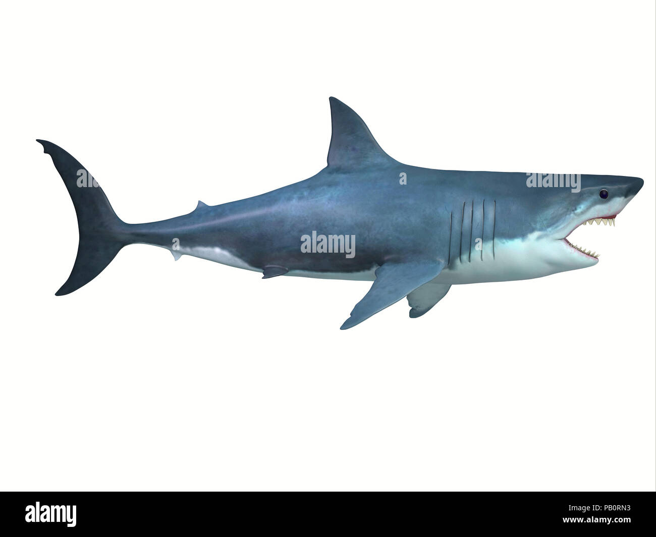 Great White Shark Side Profile - The Great White shark is a large carnivore found in all ocean environments and can live to 70 years old. - Stock Image