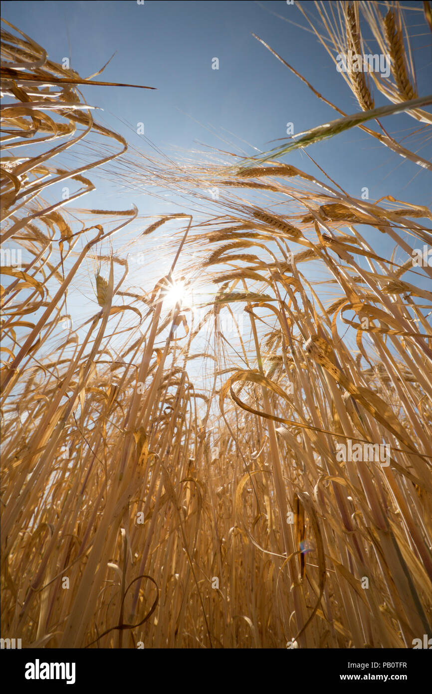 Barley growing in a field under a hot sun during the UK 2018 heatwave. Wiltshire England UK GB Stock Photo