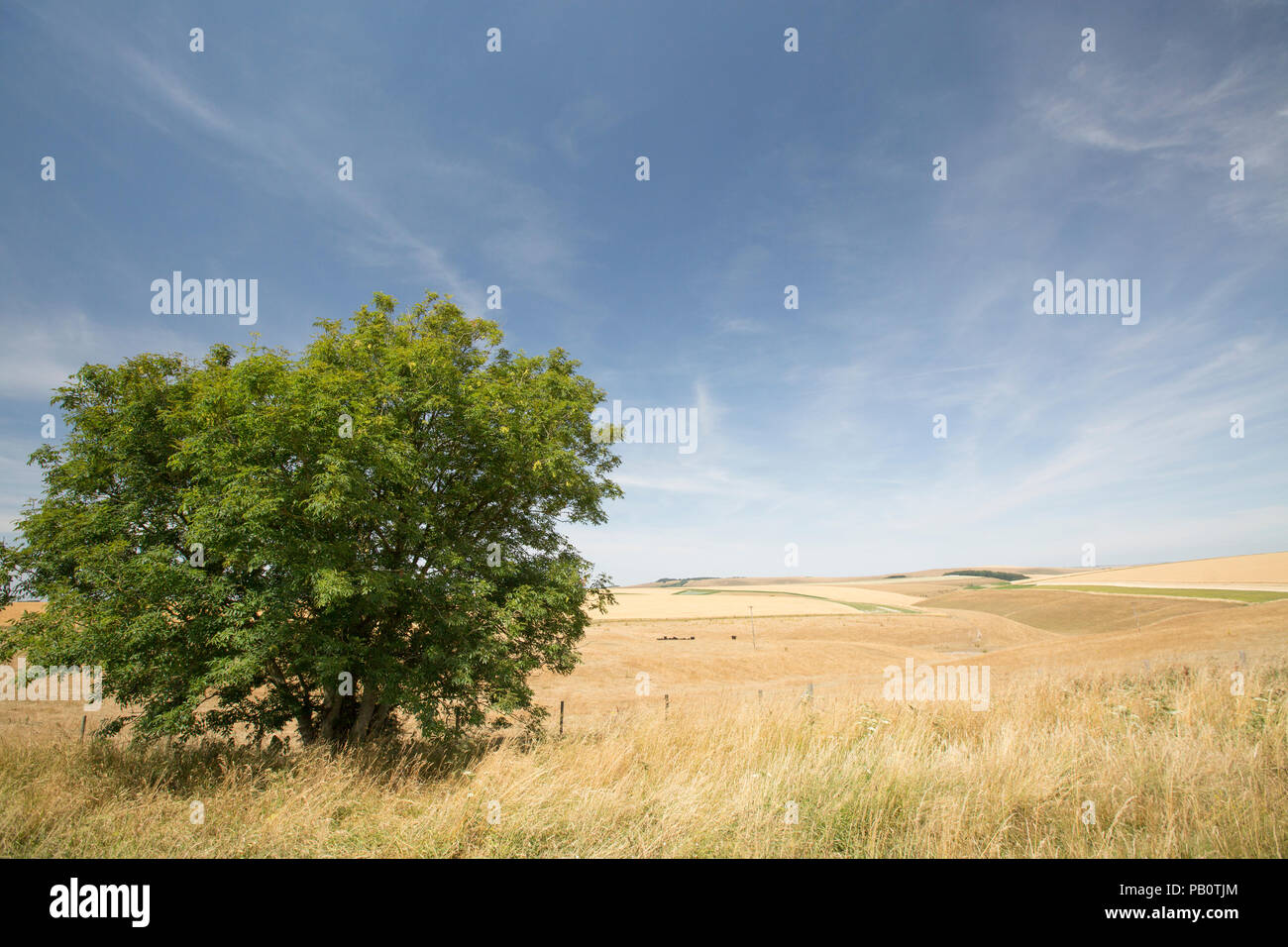 A view of the Wiltshire landscape above the small town of Mere during the UK 2018 heatwave showing a solitary ash tree and dried grass and farmers' cr - Stock Image