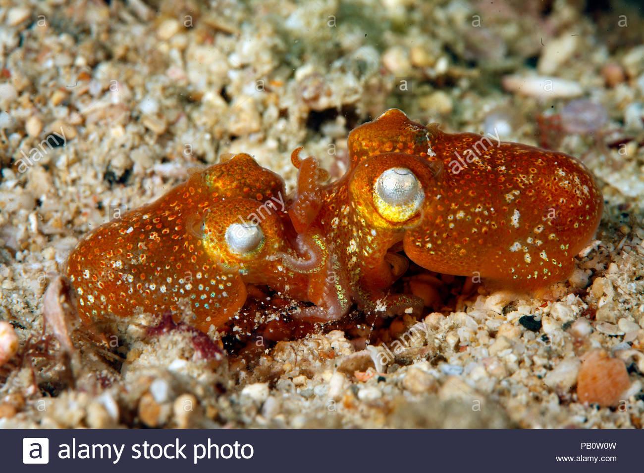 Tropical Bottletail squids or Koch's bottletail squid (Sepiadarium kochi), mating, Sabang Beach, Mindoro, Philippines - Stock Image