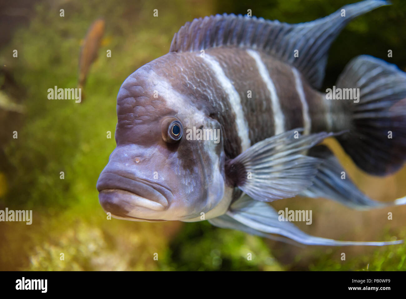 Cyphotilapia frontosa fish endemic to Lake Tanganyika commonly known as The  Frontosa Cichlid or Humphead Cichlid
