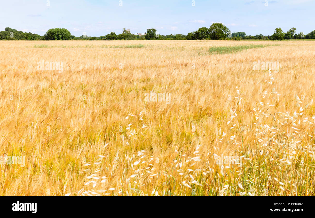 View across agricultural field of barley under blue sky in summer in Beverley, Yorkshire, UK. - Stock Image